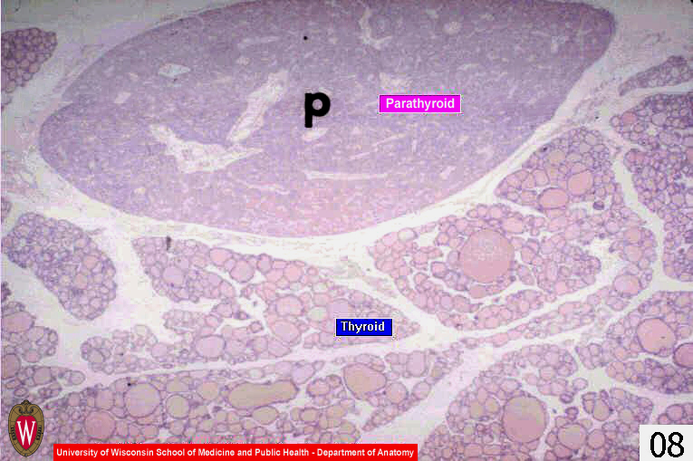 Histology Website Resource Ha8